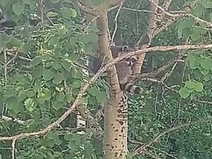 Нижегородцы нашли хозяйку енота, которого спасала вся Бурнаковка