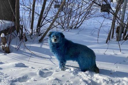 Синий краситель на шерсти собак в Дзержинске оказался безопасным