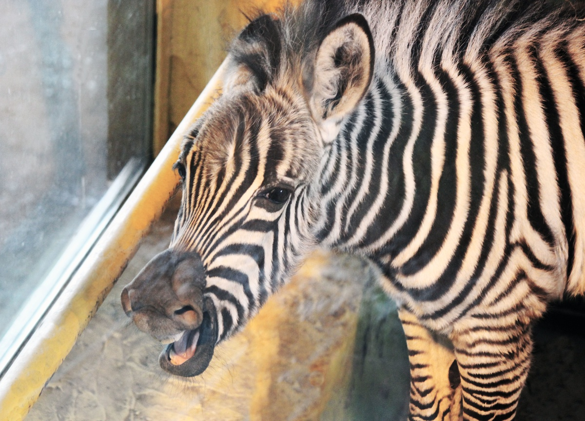 Нижегородцы выбрали имя зебре - фото 1