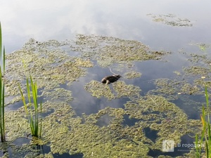 Тела мертвых уток обнаружил нижегородец в озере Щелоковского хутора
