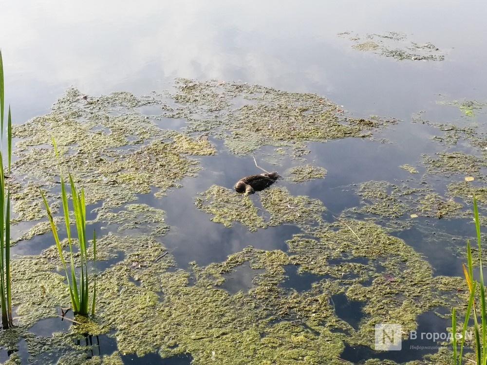 Тела мертвых уток обнаружил нижегородец в озере Щелоковского хутора - фото 1