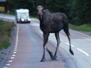 Из-за брачного периода лосей на нижегородских дорогах возрос риск попасть в ДТП