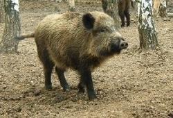 За отстрел двух кабанов починковского браконьера оштрафовали на 240 тысяч рублей